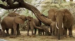 KENYA ELEPHANTS (nelsonsancho1969) Tags: africa animales elefantes kenia samburu codigo2010ago31 ken