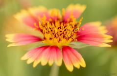She Bestowed Her Beauty (JDS Fine Art Photography) Tags: flower macro colors colours pastel beauty nature closeup naturesbeauty inspirational
