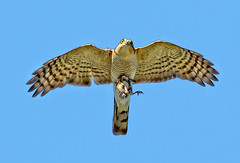 Male Eurasian Sparrowhawk  (  Accipiter nisus ) -Breakfast is served !! (Clive Brown 72) Tags: hunting prey feeding youngster male hawk raptor wales inflight cock local sparrowhawk birdofprey