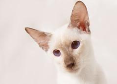 'Choccie' (Jonathan Casey) Tags: siamese chocolate point portrait cat nikon d810 105mm f28 vr rescue catchums norfolk jonathancaseyphotography