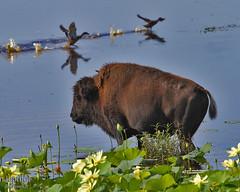 Bison with Ducks (Jepthor) Tags: bison lachuatrail alachuacounty paynesprairiestatepark