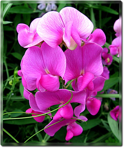 canada quebec montreal urbangardens lathyrus ndg pinkflowers sweetpeaflower flowerwatcher macroflowerlovers flowersarefabulous simplythebest~flowers summer2010