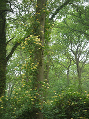 Reaching skywards (yvonnepay615) Tags: uk flowers trees green nature woodland lumix woods forestry postcard norfolk panasonic g1 honeysuckle 45mm eastanglia swaffham serenitynow 43365 esenciadelanaturaleza
