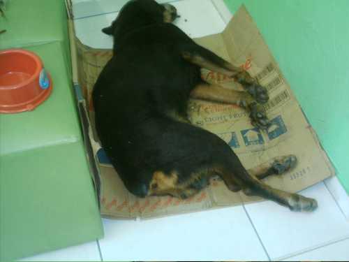 Cachorro espancado, abandonado e que precisou ser eutanasiado
