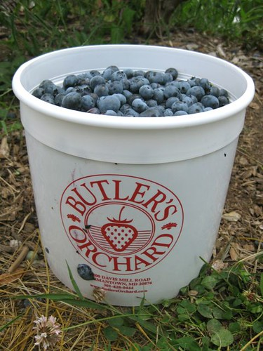 Blueberry picking_1