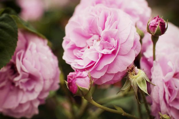 pink-rose-01