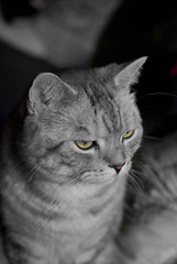 Sasha's Book Jacket Photo (cphoffman42) Tags: portrait blackandwhite bw pet cat nose eyes tabby kitty whiskers hintofcolor smcpda40mmf28