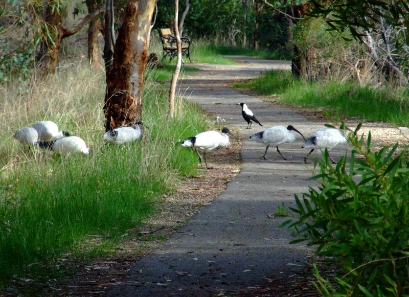 ibis xing