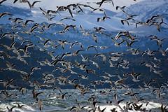 Gaviotas en el Nahuel Huapi (Facu551) Tags: birds fauna gaviota bariloche nahuelhuapi sancarlosdebariloche kelpgull larusdominicanus gaviotacocinera dinahuapi gaviotascocineras