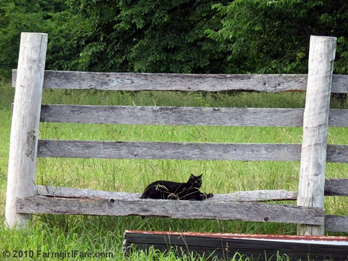 Mr. Midnight on the fence