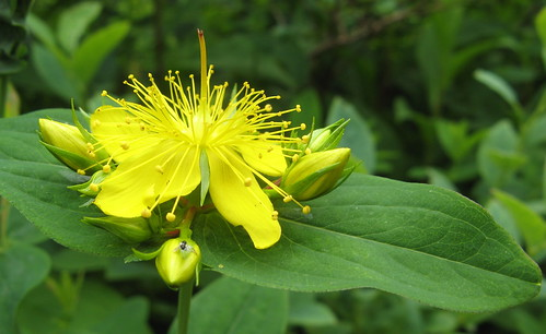 St. John's Wort growing wild