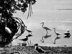 Reflections-3 (Bonaparte's Gull) () Tags: mangrove whiteibis floridakeys bonapartesgull greatwhiteegret smalleregrets