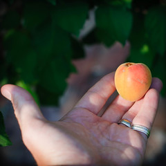 the first apricot