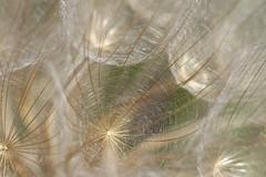 salsify-seeds