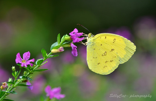 Common Grass Yellow(Eurema hecabe)-寬邊黃粉蝶