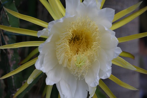Pitaya flower ドラゴンフルーツの花