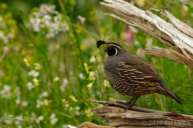 Quail at Tomales Point