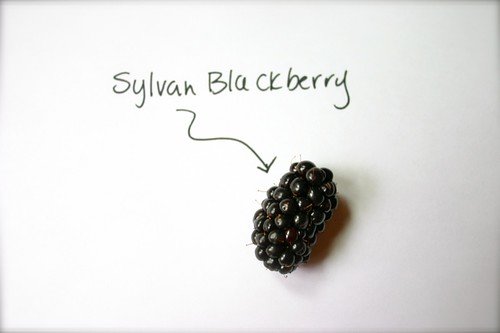 Sylvan Blackberry