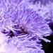 Flossflower - L' Agératum du Mexique