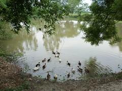 Village pond near Tarapith (Shirshasin) Tags: easyshare kodal c142 shirshasin
