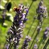 DELICIOSA LAVANDA (MARISA1005) Tags: color macro bokeh flor lavanda cuadrado mywinners ysplix bokehhearts