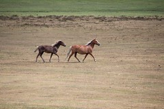 """why (romorga) Tags: wild summer horse hot nature animal canon mammal eos mare wildlife dry hampshire cavalo trot hotter mammalia equine park"""" hest feral equus hevonen paard filly foal parched häst """"new лошадь koń equidae chevel 50d perissodactyla """"national kůň equids equid forest"""" ม้า 名词 名詞 innoc romorga"""