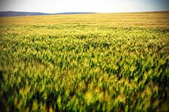 [フリー画像] 自然・風景, 田畑・農場, イネ科, 小麦・コムギ, 201007190100