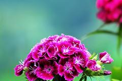 Exaltation (smile&go) Tags: italy flower color nature landscape italia piemonte val carnations valledaosta nikond60 dayas lignod garofanino