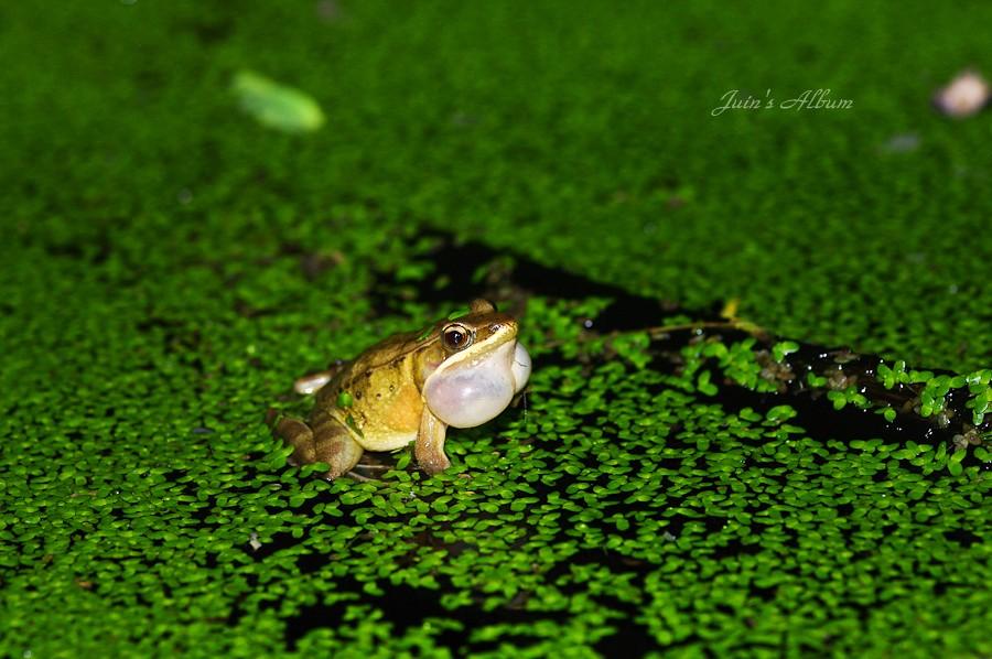 四 崁 水 蛙蛙聒聒 (7/16) 內有小龍請慎入