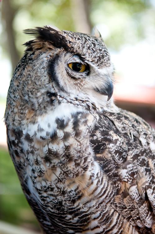 Gordon the Owl