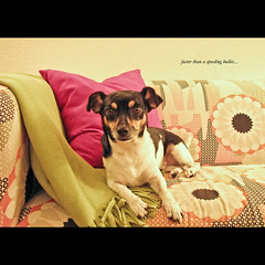 Krypto (dawn.anderson) Tags: dog animal canine sofa blanket pooch jackrussellterrier womansbestfriend photographyhound