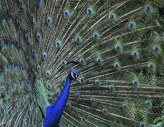 PEACOCK (MOHAMMED AL-SALEH) Tags: park bali bird birds indonesia photography peacock  balibirdpark baliisland birdphotography colorphotoaward birdsphotography