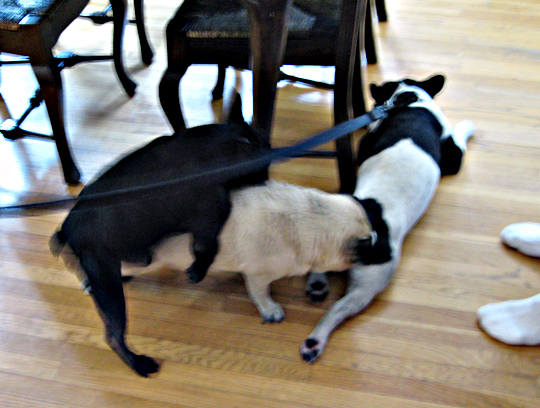 dogs humping + stray frenchie