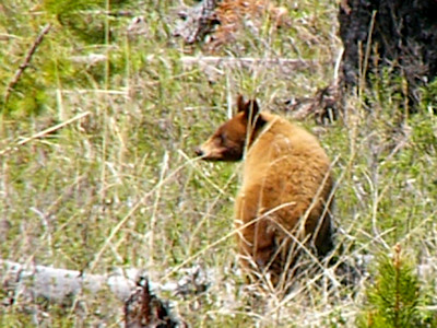 Yellowstone National Park 2005 - Baby bear elebenty miles away from the camera