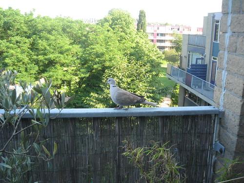 Eurasian Collared Dove on my terrace