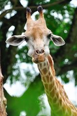 (j-imaging) Tags: wild animal mammal eat meal giraffe nibble