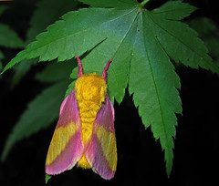 Rosa Maple Moth (al-ien) Tags: macro night moth myplace rosymaplemoth floridamoths macrolife pinkandyellowmoth masterpiecesonblack photocontesttnc10