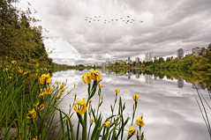 Lost Lagoon (Lee Sie) Tags: park city flowers lake canada reflection water birds yellow skyline vancouver clouds nikon cityscape bc britishcolumbia flock lagoon lilies stanleypark ls cannalily d90