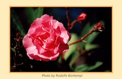 Fiore (Rodolfo Bontempi photos (1000.000 views)) Tags: sardegna flowers costa art film photo nikon flickr foto fotografie f80 fiori fullframe fiore rei pellicola tamron70300 artistiche rodolfobontempi