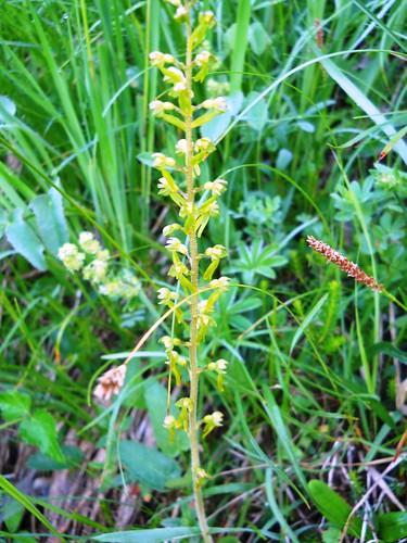 Common Twayblade (Listera ovata)