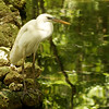 A Great White Heron differs from a Great Egret  in that the Great White Heron is larger than the ...