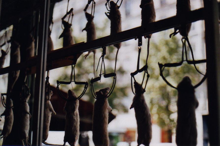 hanging rats