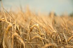 IMG_4240-1039.jpg (miez!) Tags: summer nature field closeup canon germany geotagged eos corn dof hessen sommer natur feld 1750 deu korn biedenkopf getreide weizen roggen 50d bekoh tamron1750 canoneos50d engelbach geo:lat=5092597700 geo:lon=860933533