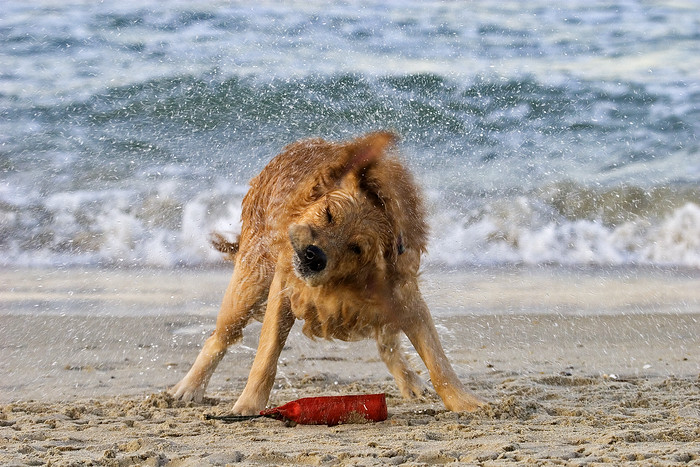 Golden Retriever shaking off excess water after a swim
