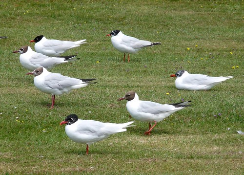 22110 - Mediterranean Gull at Bracelet Bay, Gower