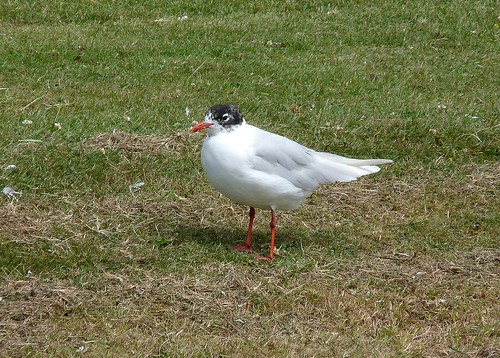 22103 - Mediterranean Gull at Bracelet Bay, Gower