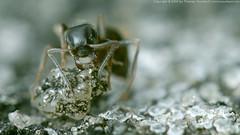 Ant (Thomas Suurland) Tags: macro closeup insect ant suurland thomassuurland