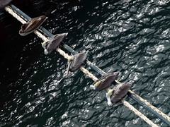A Dodgy Place to Rest (saxonfenken) Tags: five ropes sea diagonal birds caribbean pregamesweepwinner gamewinner friendlychallenge pelicans yourock1stplace challengeyou challengeyouwinner agcgwinner thumbsup 6934birds 6934 perpetual