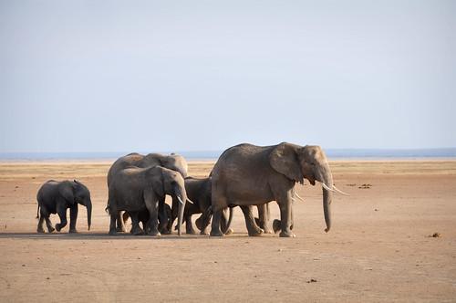 ElephantFamilyWalk