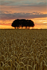 Harvest time (richheath) Tags: trees sunset harvest southbourne clump